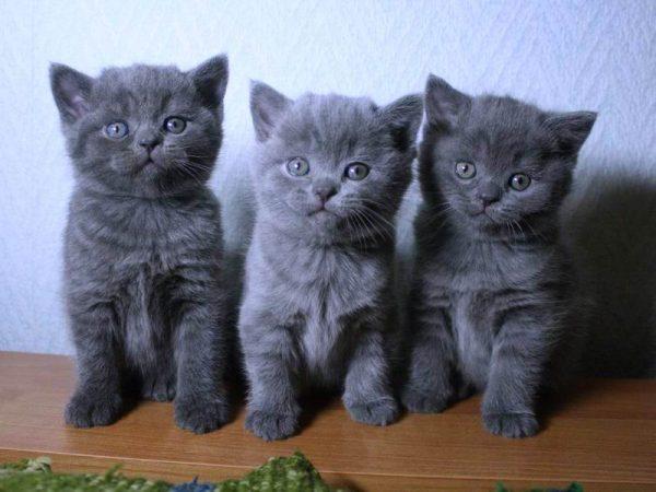 котята британской короткошёрстной породы