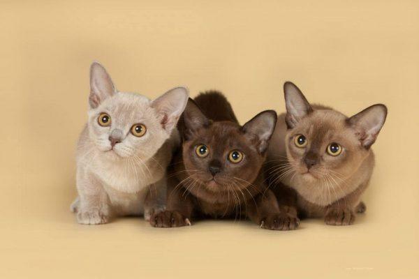 Три котенка бурманской кошки