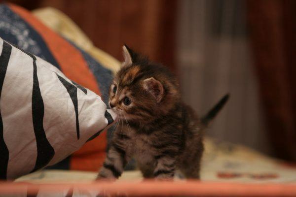 Котёнок держит в зубах подушку