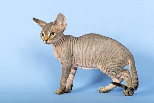 Котёнок девон-рекса в 3–4-месячном возрасте