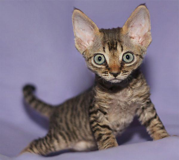 Котёнок девон-рекса в возрасте 1,5–2 месяца