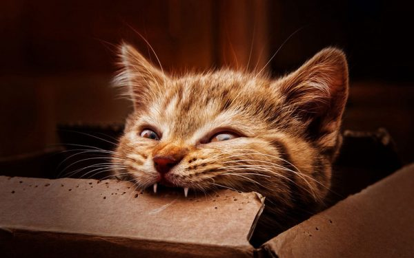 котёнок грызёт коробку