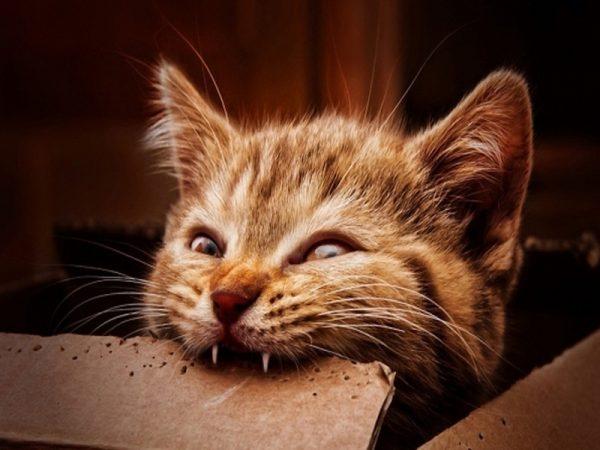 Котёнок грызёт картонку