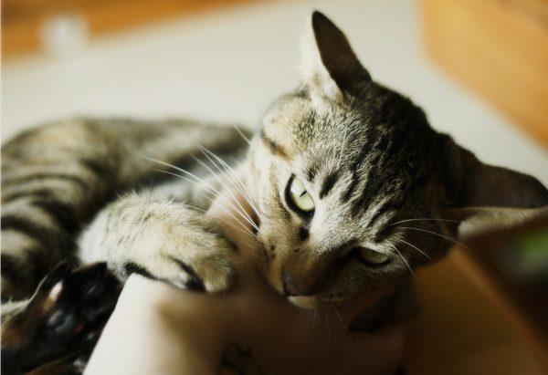 кот грызёт руку