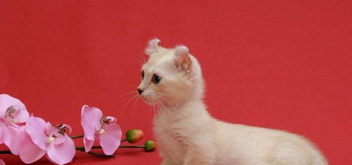 Котёнок карликовой породы