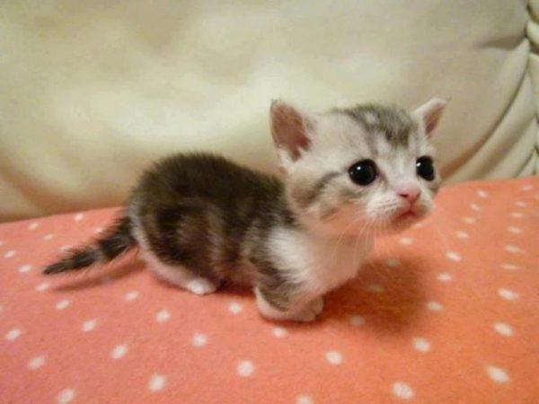Котёнок манчкина на подстилке