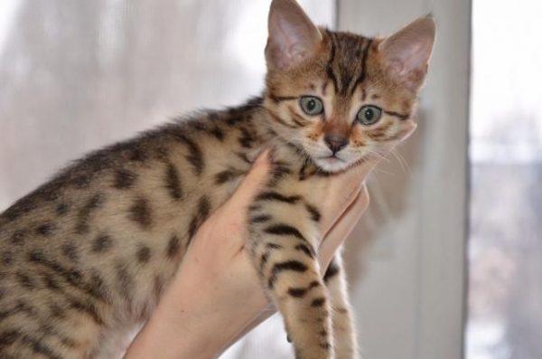 Котёнок мау бронзового окраса в 2-месячном возрасте