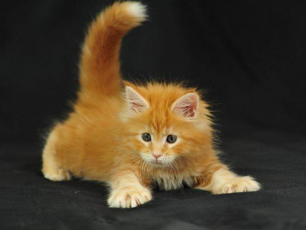 Котёнок мейн-куна