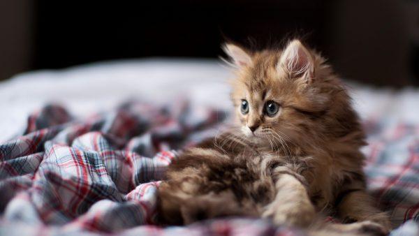 Котёнок на клетчатом покрывале