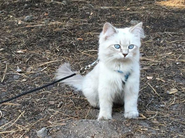 Котёнок на шлейке