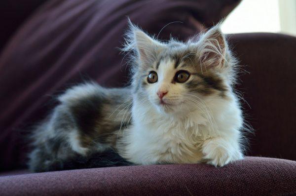 котёнок норвежской кошки с белым галстуком