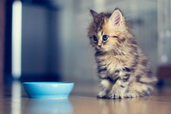 Котёнок перед мисочкой