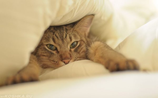 котёнок под одеялом