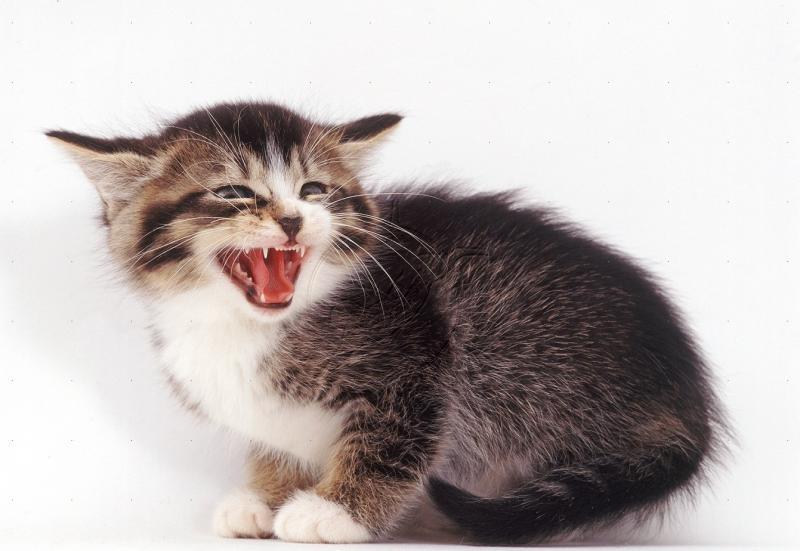 Зубы: второе оружие кошек