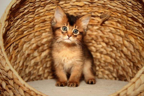 Котёнок сомалийской породы