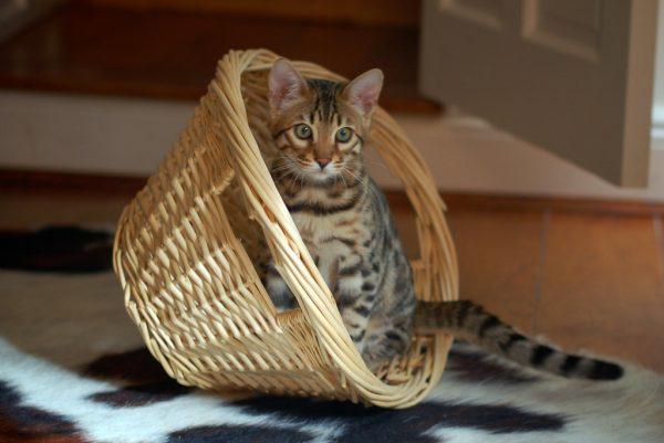котёнок тойгера в корзинке