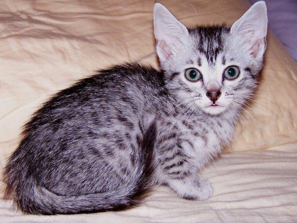 Котёнок в период фазинга