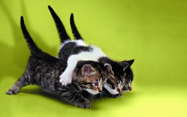 Котята охотятся