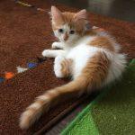 котёнок вана на коричневом ковре
