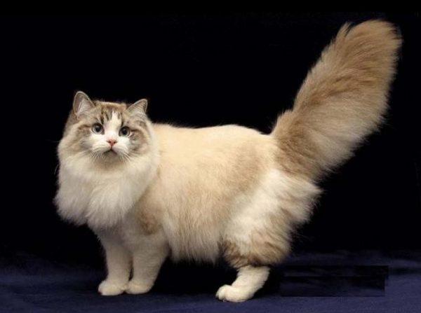 Котик породы рагамаффин стоит и смотрит ввысь