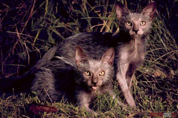 Коты породы ликой в траве
