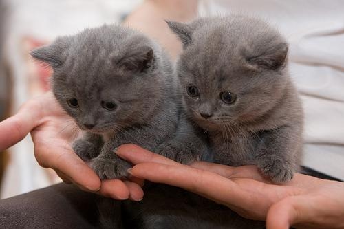 Котята британцы на руках