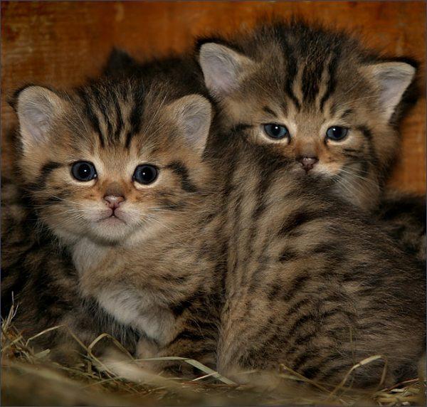 Котята дикой европейской кошки