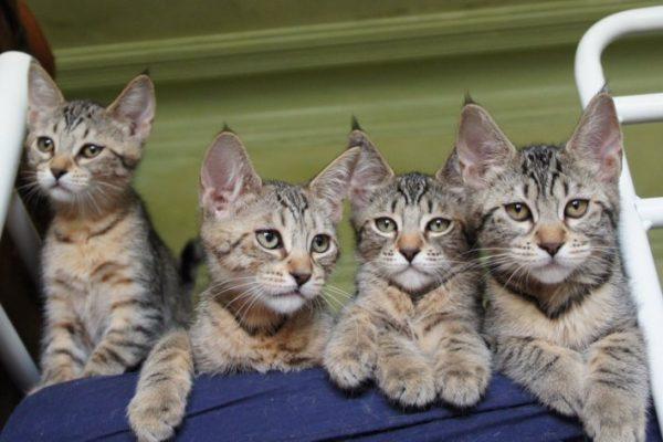 Котята пиксибоба в возрасте 3–4 месяцев