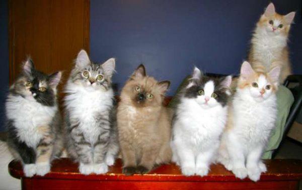 Котята-рагамаффины сидят в ряд