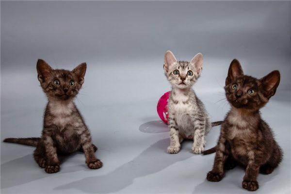 Котята различных окрасов