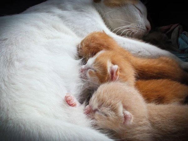 Котята сосут маму