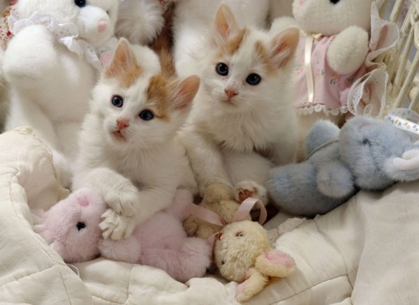 котята турецкого вана среди детских игрушек