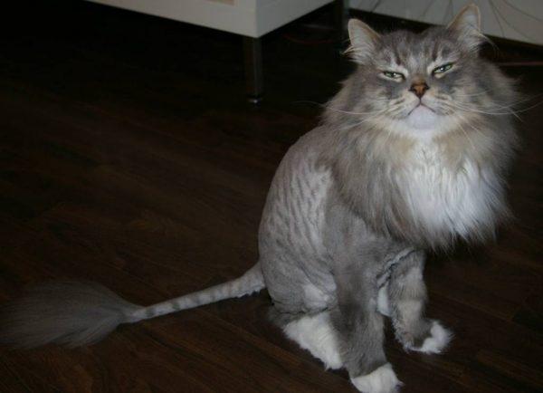 Красиво постриженный серый кот жмурится, сидя на полу
