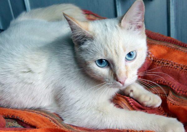 Кремовая тайская кошка лежит на оранжевом покрывале