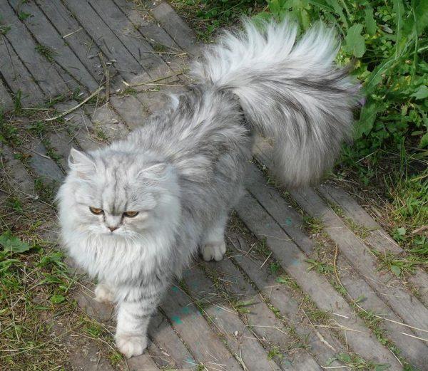 Ламбкин кот