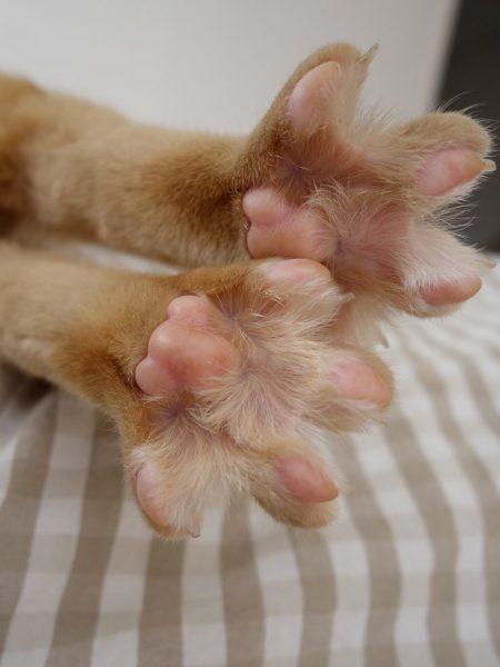 Лапы рыжей кошки с подушечками