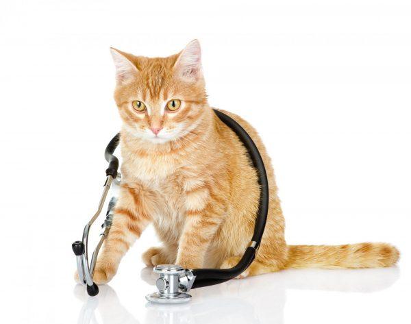 Кот и стетоскоп