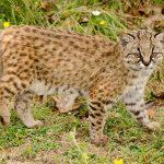 Leptailurus serval hindeio