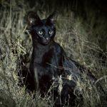 Leptailurus serval kempi