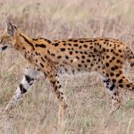 Leptailurus serval serval