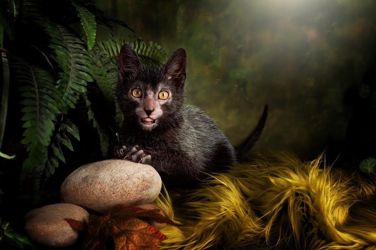 Порода кошек ликой: уход, внешний вид, характер