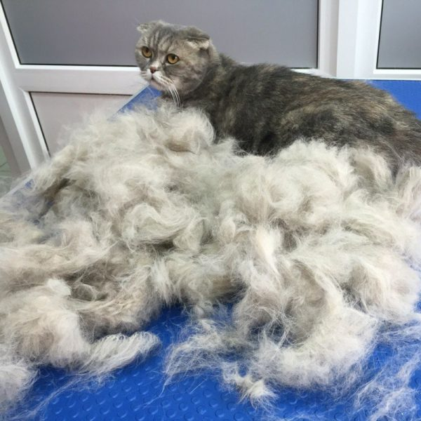 Кошка и много шерсти на столе