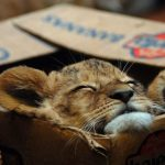 Львёнок в коробке