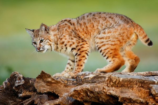 Lynx rufus или Bobcat
