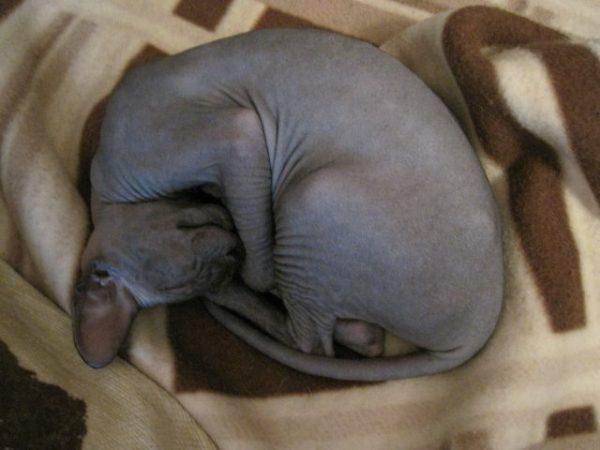 Лысый кот спит калачиком