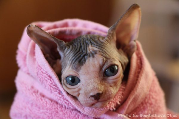лысый котёнок в полотенце