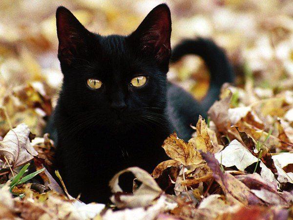 Бомбейская кошка в осенней листве
