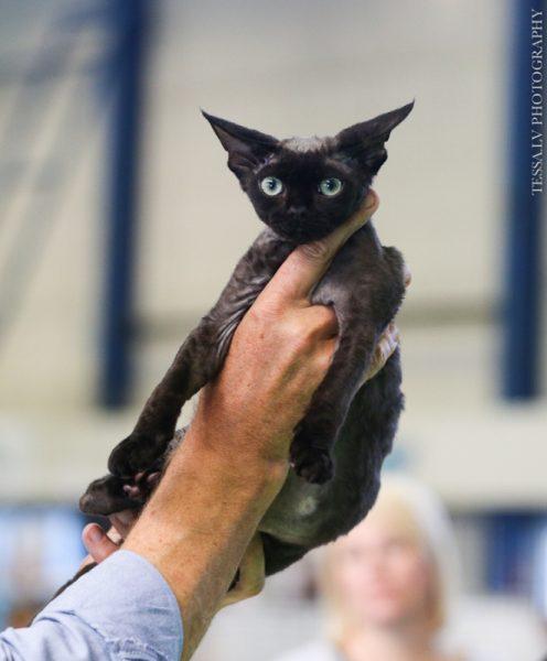 Котёнок девон-рекс на выставке кошек