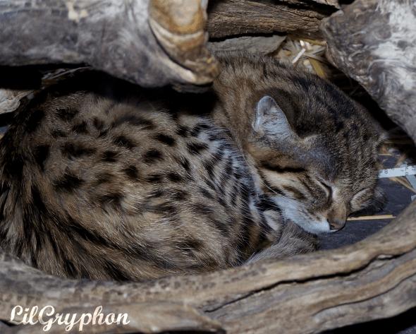 Малая африканская пятнистая кошка