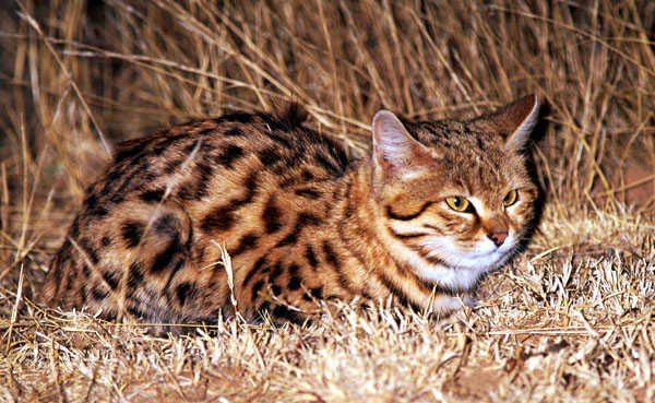 Малая пятнистая африканская кошка